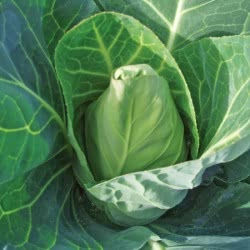 Duncan F1 cabbage seeds