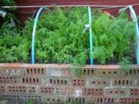 Growing carrots in a raised bed