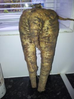 Parsnip grown in compost