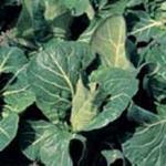 Cabbage Advantage F1