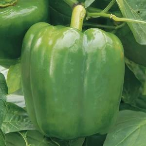 Sweet pepper Ace F1 hybrid