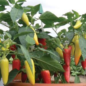 Caldero chilli plant
