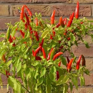 Lancer chilli plant