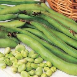 Masterpiece Green Longpod broad beans