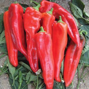 Thor F1 sweet chilli pepper