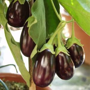 Aubergine seeds Ophelia