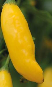 Chilli Pepper Hot Lemon