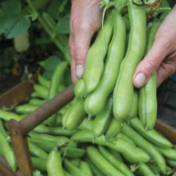 De Monica broad bean seeds