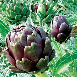 Violet Globe Artichokes grown from seed
