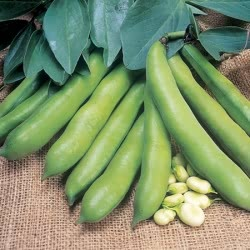 Meteor Vroma broad bean seeds